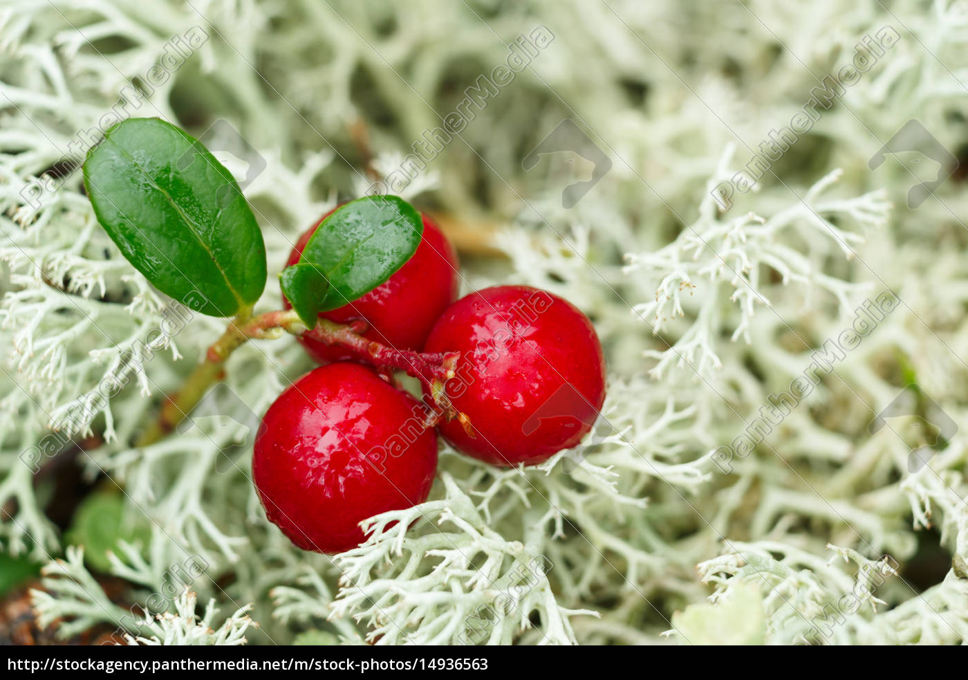 cowberry, (foxberry, lingonberry) - 14936563