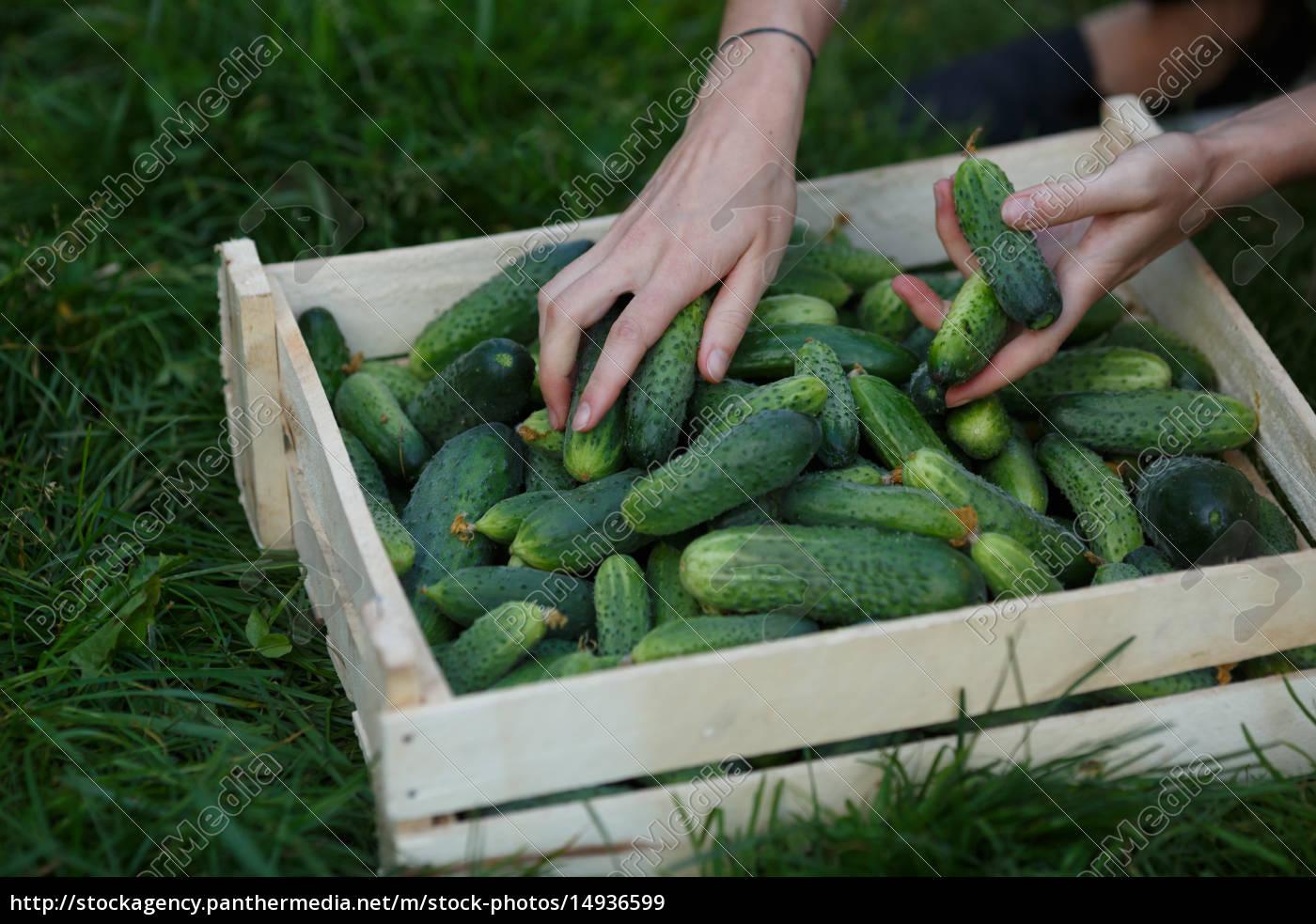 cucumbers, harvest - 14936599