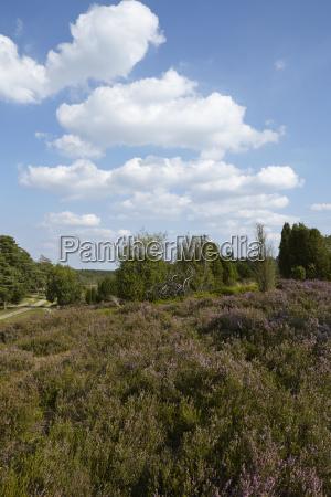 luneburg heath heathland with blue
