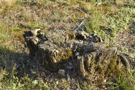 luneburg heath rotten stump