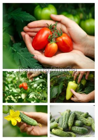 vegetable, harvest - 14940889