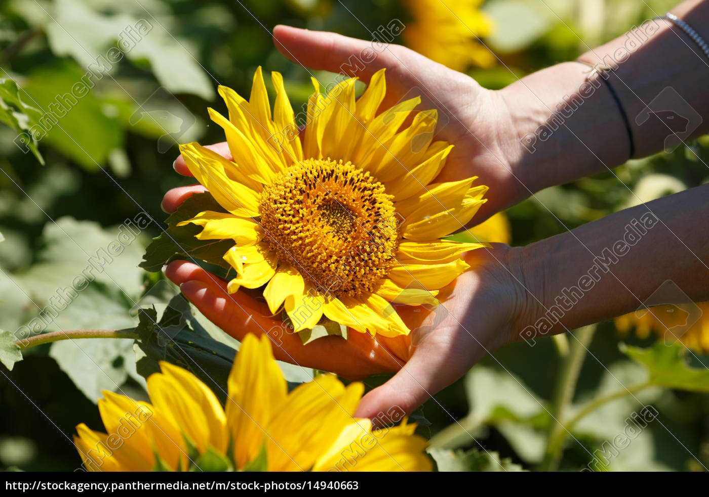 woman, holding, sunflower - 14940663