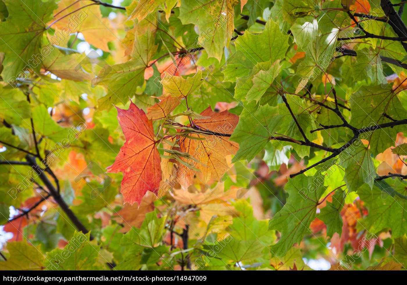 closeuo, of, colorful, autumn, tree - 14947009