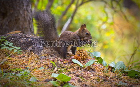 squirrel eating pine nuts on the