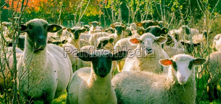 curious sheep in the autumn