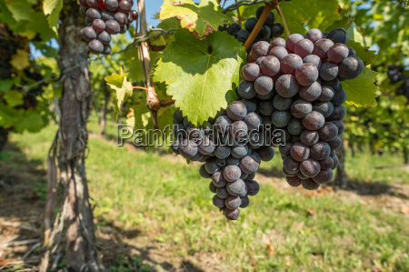red grapes with vine leaf