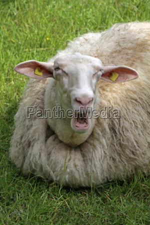munching sheep in a meadow lying