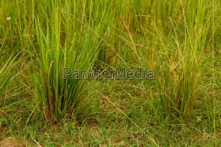 green savannah grasses close up