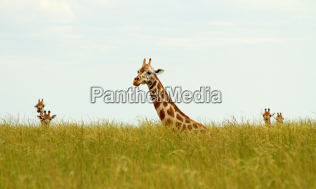 sitting giraffes in long grass