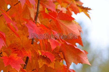 fiery maple leaves closeup
