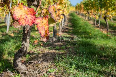 grape leaf red in autumn