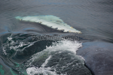 raft of a whale