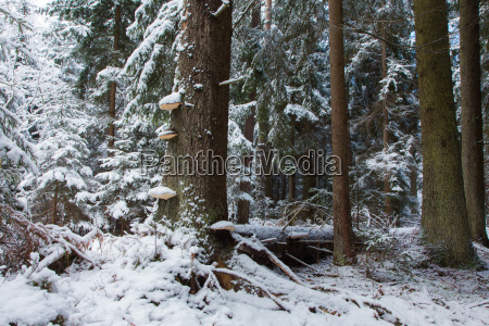 winter landscape of old coniferous stand