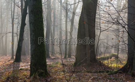 autumnal morning in the forest with