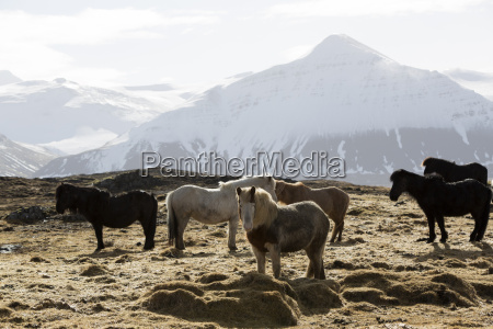 herd of icelandic horses in spring