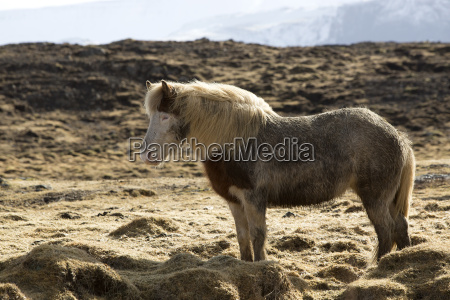 icelandic pony in wintertime