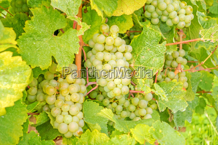 ripe grapes in vineyard