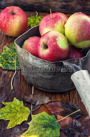 autumn harvest of apples