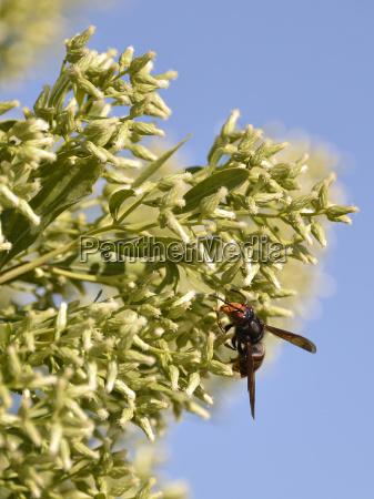 asian predatory wasp feeding on plant