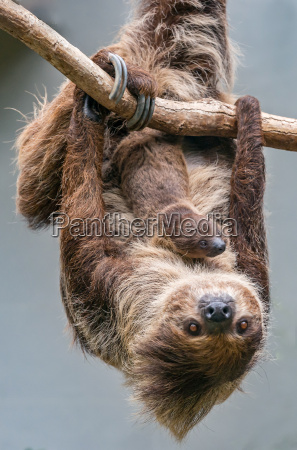 sloth mother with one month old