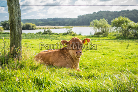calf relaxing in the grass