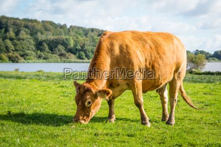 cow eating fresh green grass