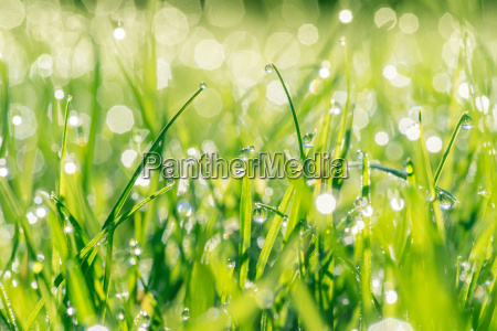 fresh grass with droplets