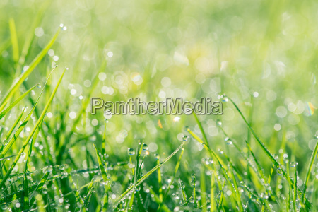 dew in green grass