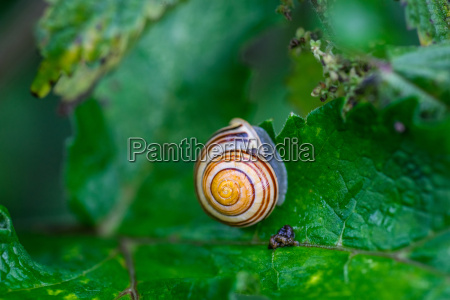 common snail on a green leaf