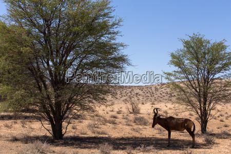 a common tsessebe alcelaphus buselaphusthe camera