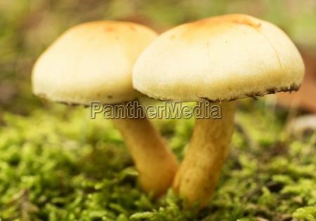 inedible mushroom macro sulfur tuft