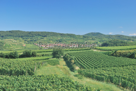 vineyards in the kaiserstuhl in the