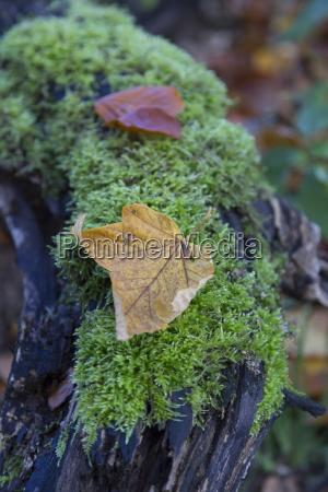 single autumn leaf on moss