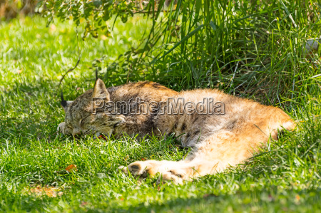 lynx sleeping in the shade