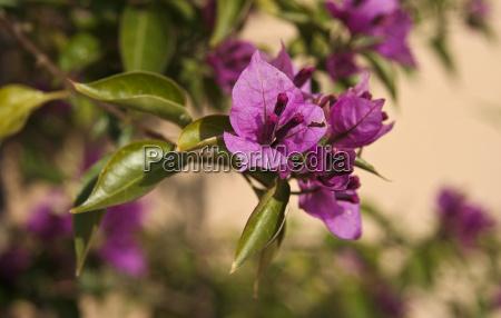 violet bougainvillea flower