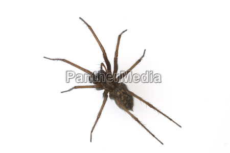 house spider big angular spider