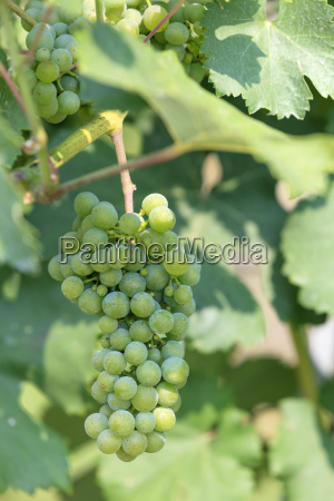 grapes green light with foliage vine