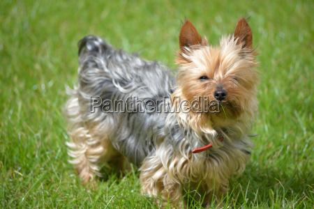 mini yorkie dog on the grass