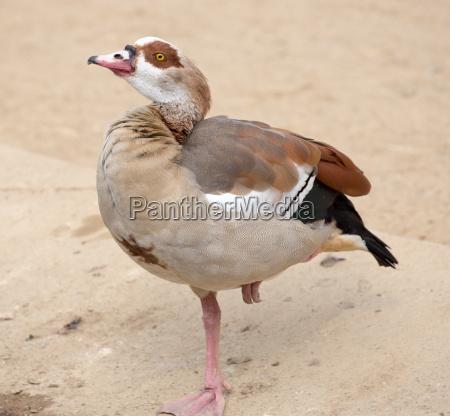 egyptian goose alopochen aegyptiaca