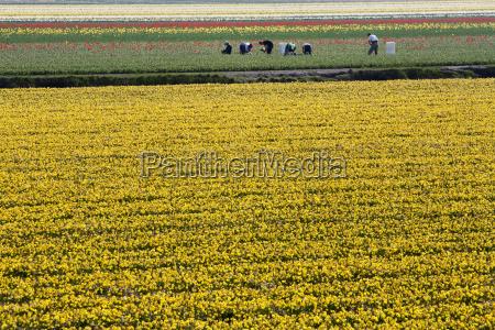workers in flower fields
