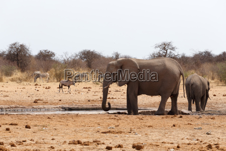 herd of african elephants at a