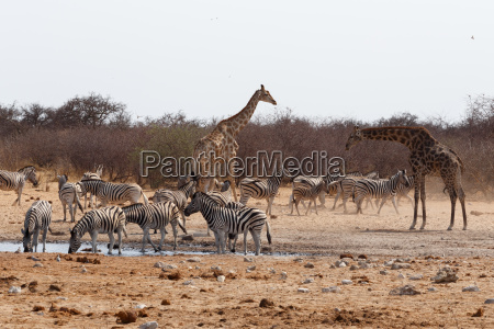 giraffa camelopardalis and zebras drinking on