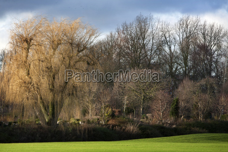 weeping willow in winter landscape