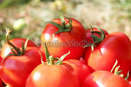 rich crop of red tomatoes