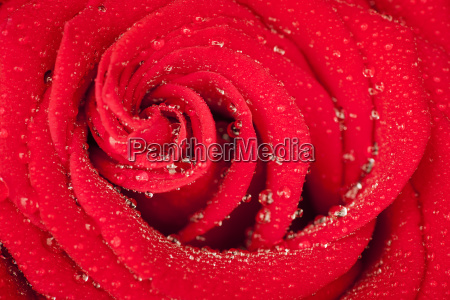 red rose spirallyleft