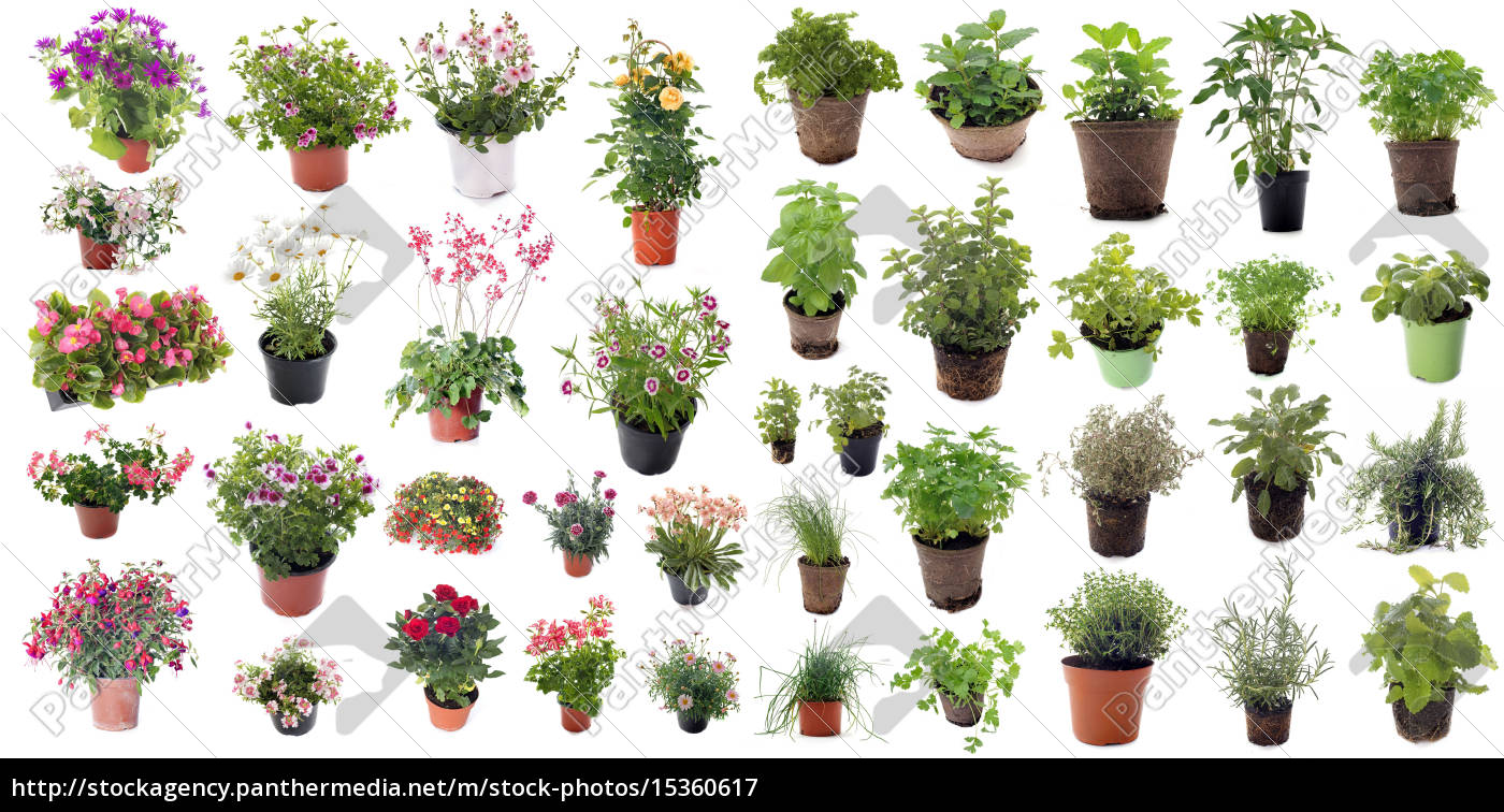 aromatic, herbs, and, flower, plants - 15360617