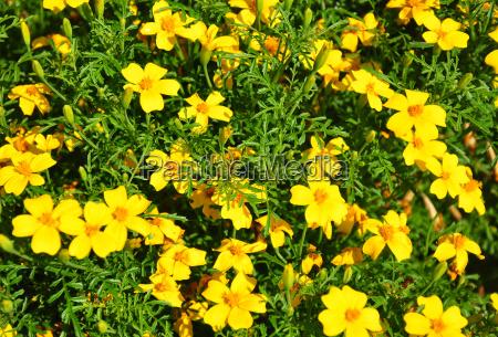 narrow marigold tagetes tenuifolia