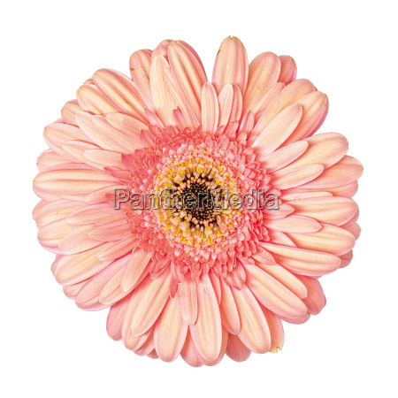 luz flor cor de rosa do