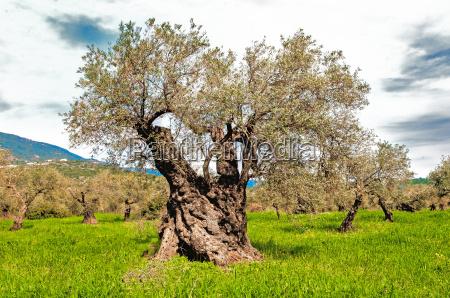 olive tree of eternity
