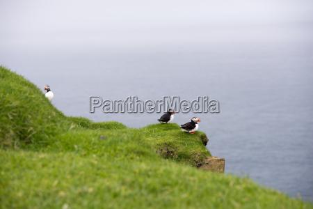 atlantic puffins fratercula arctica in its